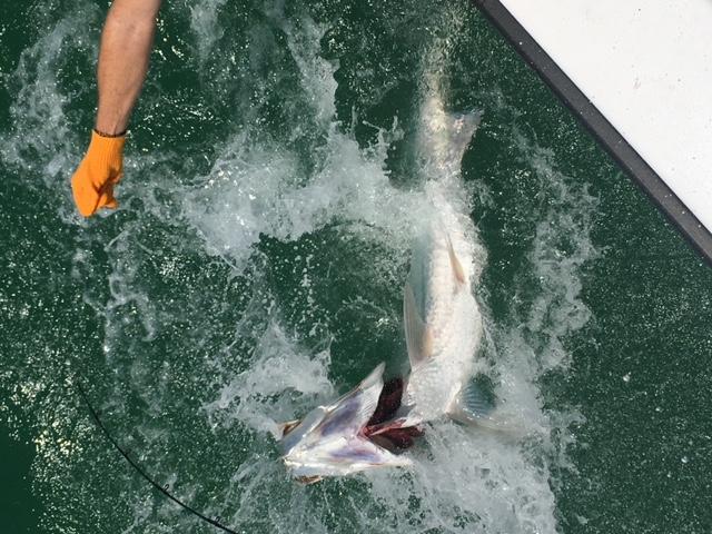 Tarpon Fishing on Anna Maria Island