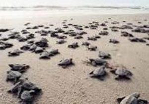 Turtles-On-The-Beach-Anna-Maria-Island-Florida-AMI-Locals