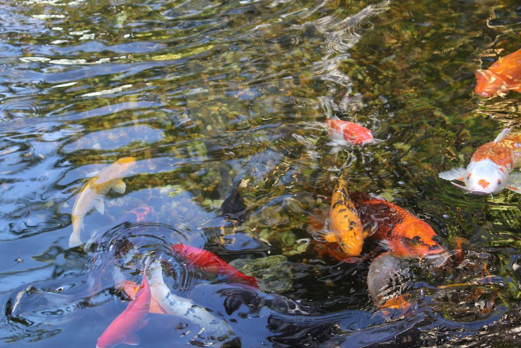 Mini Golf on Anna Maria Island - Koi fish