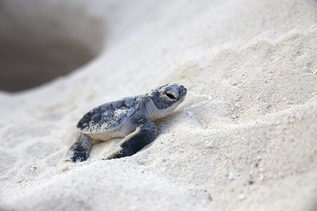 What You Need to Know About the Turtle Nesting Season on Anna Maria Island